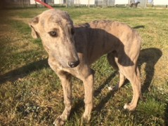 Search-Greyhounds - Racing Sales